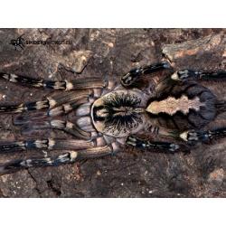 Poecilotheria ornata 3.zvlek