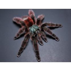 Caribena versicolor 3.zvlek