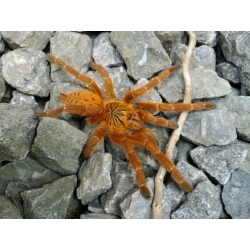 Pterinochilus murinus - RCF 2-3.zvlek
