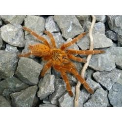 Pterinochilus murinus - RCF 3.zvlek