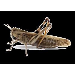 Saranča sťahovavé (Locusta migratoria) - dospelí 11ks