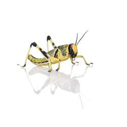 Saranča všežravé (Schistocerca gregaria) - malí 50ks...
