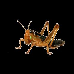 Saranča sťahovavé (Locusta migratoria) - strední 11ks (~3cm)