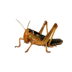 Saranča sťahovavé (Locusta migratoria) - strední 50ks (~3cm)