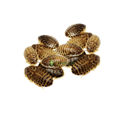 Šváb Argentínsky (Blaptica dubia) Malí ~1-1,5cm 50ks