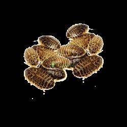 Šváb Argentínsky (Blaptica dubia) Malí ~1-2 cm 50ks