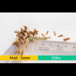 Cvrček domáci (Acheta domestica) - malí (~5mm) 50ks