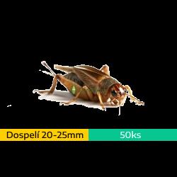 Cvrček domáci (Acheta domestica) - dospelí (~2-2,5cm) 50ks